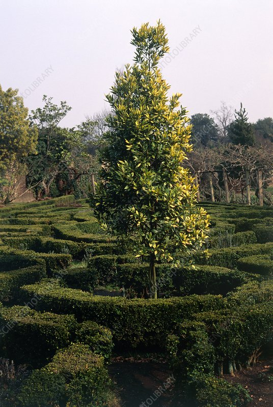 Maze and laurel tree