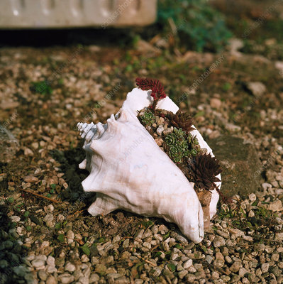 Conch shell used as planter