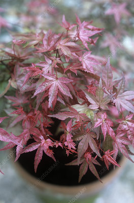 Japanese maple (Acer 'Beni-maiko')