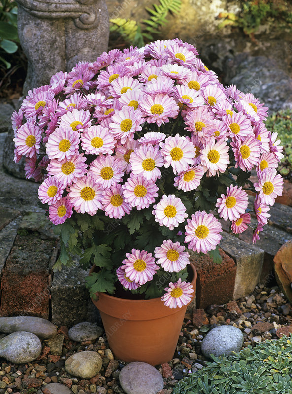 Cushion mum (Chrysanthemum 'Hockney')