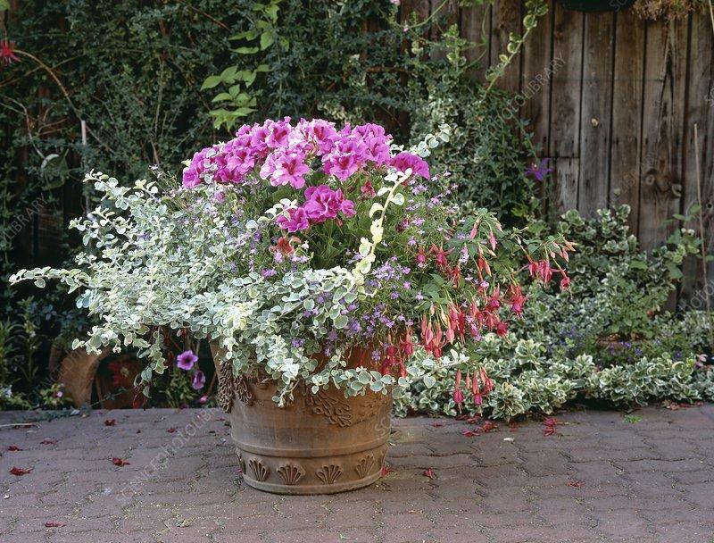 Fuchsia and pelargonium flowers