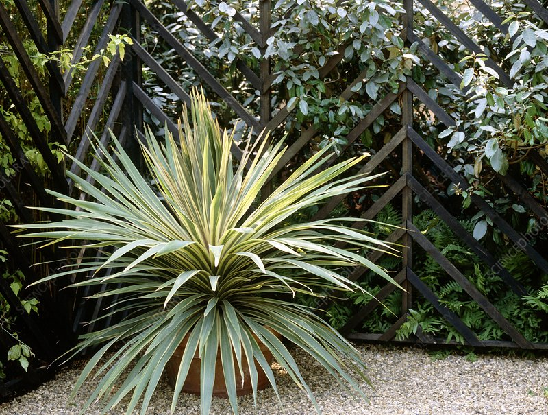Cordyline plant in a container
