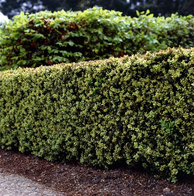 Box hedge