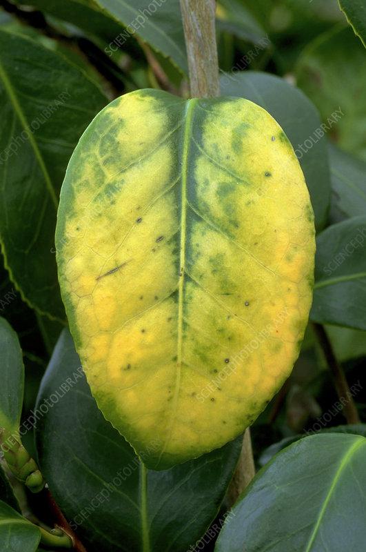 Camellia Yellow Mottle
