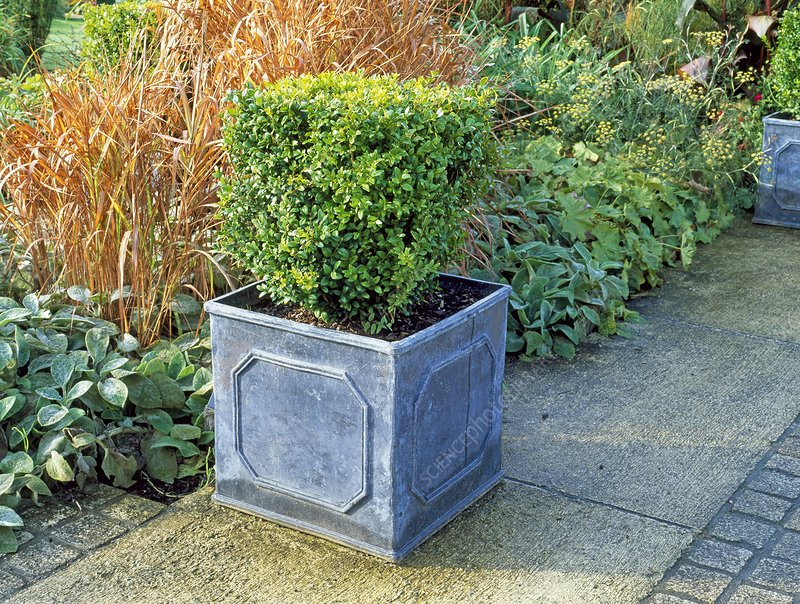 Clipped Box Buxus in container on patio