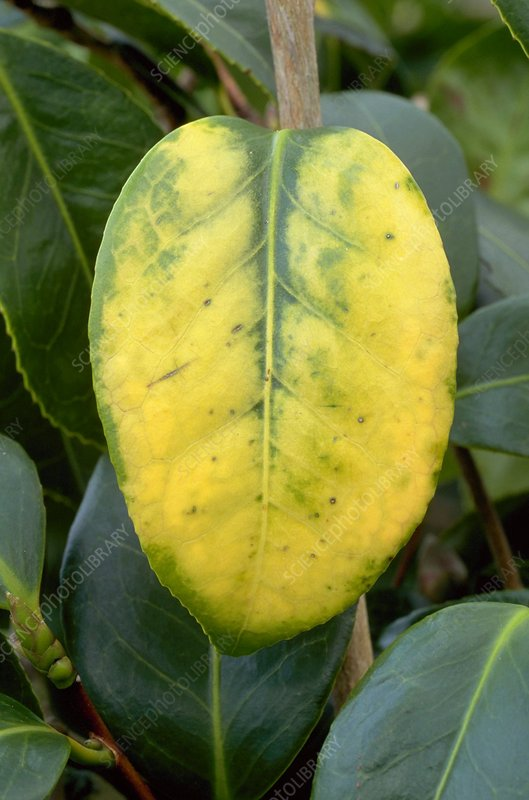 Camellia Yellow Mottle
