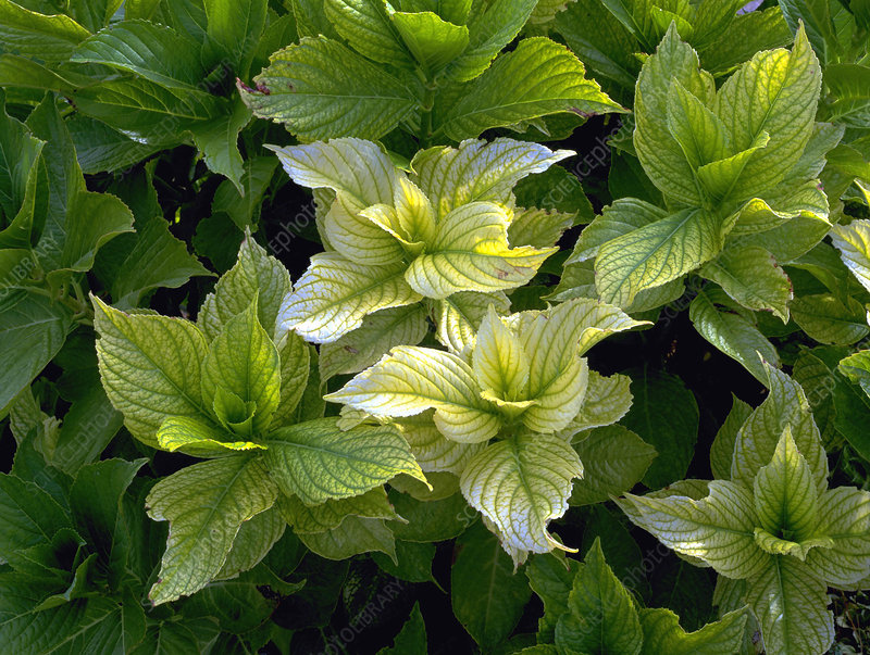 Chlorosis on Hydrangea sp