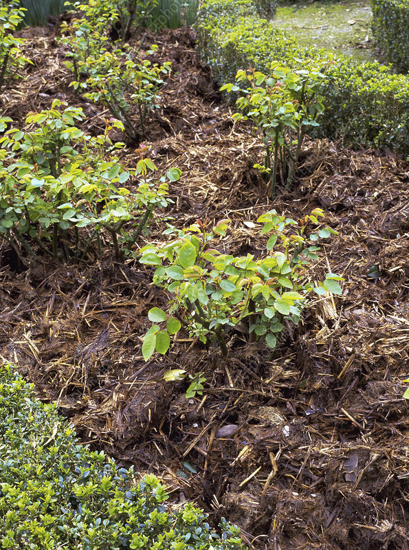 Mulch of manure on Rose beds