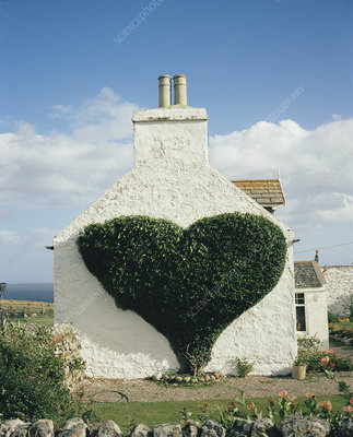 Heart-shaped ivy vine