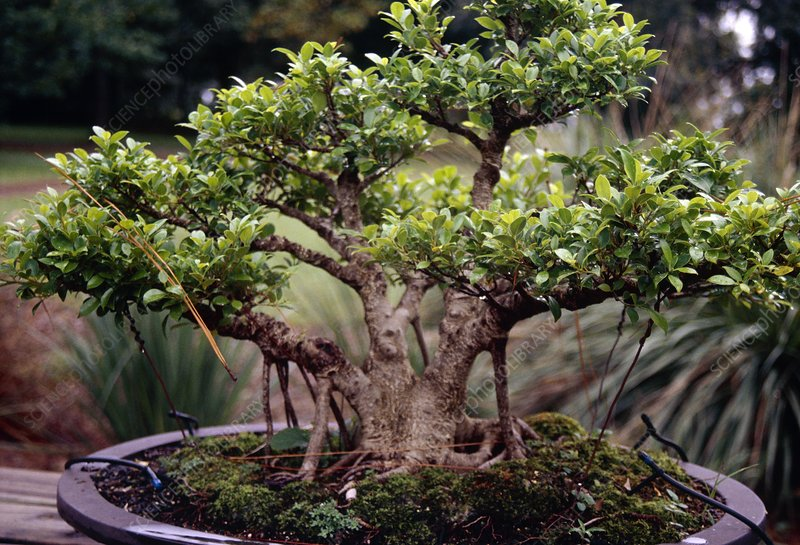 Ficus refusa
