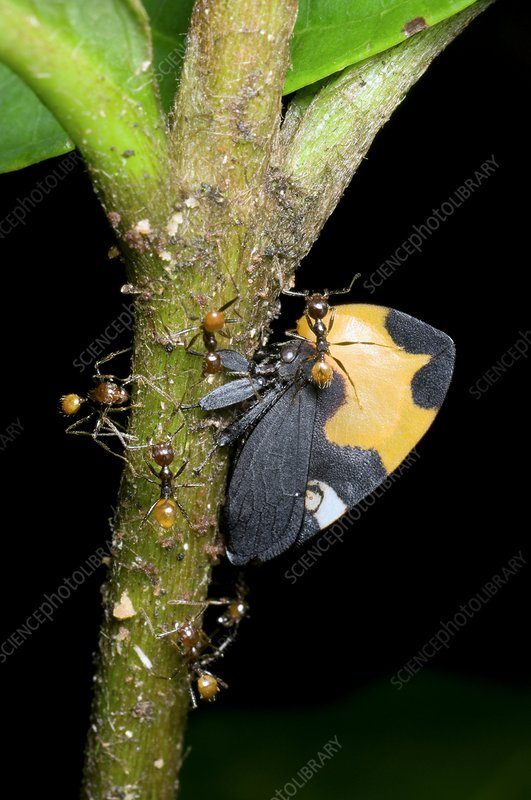 Ants tending a treehopper bug on a plant