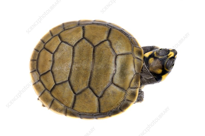 Hatchling yellow-spotted river turtle