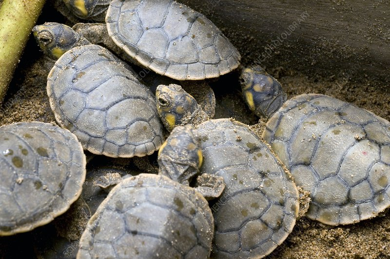 Hatchling yellow-spotted river turtles