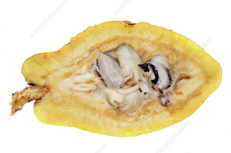 Inside of a cocoa pod