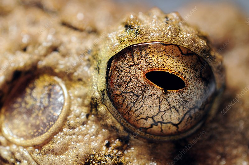 Close-up of common big-headed rain frog