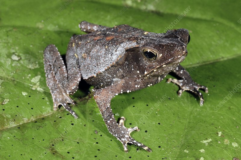 South American common toad on a leaf