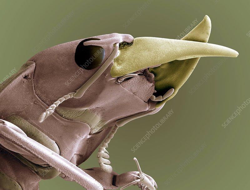 Ground beetle head, SEM