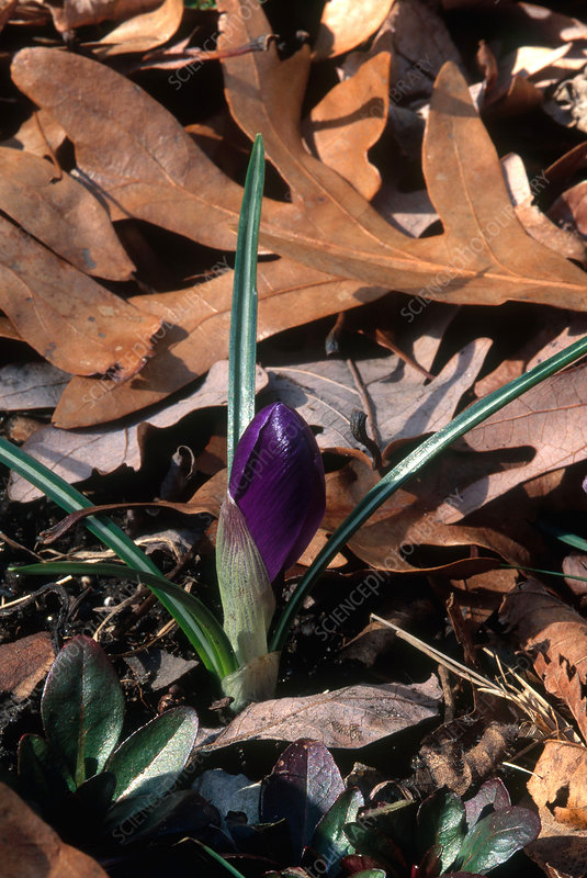 Crocus Growth Sequence