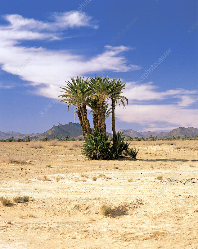 Date Palms in Desert