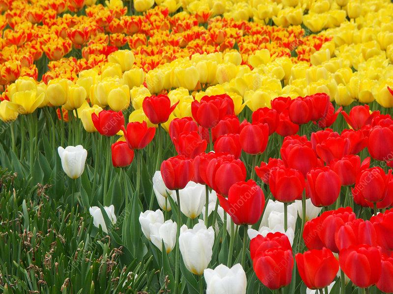 Tulips (Tulipa gesneriana)