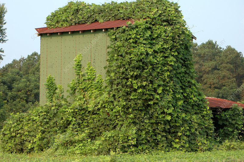 Barn Overgrown with Kudzu