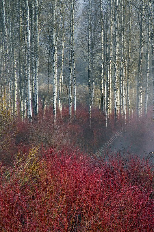 Birch and Red Willow, Oregon