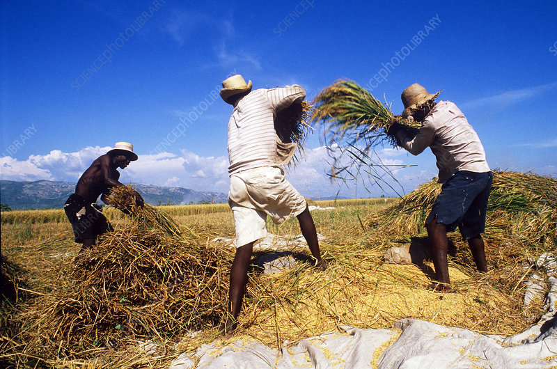 Harvesting Rice, Haiti