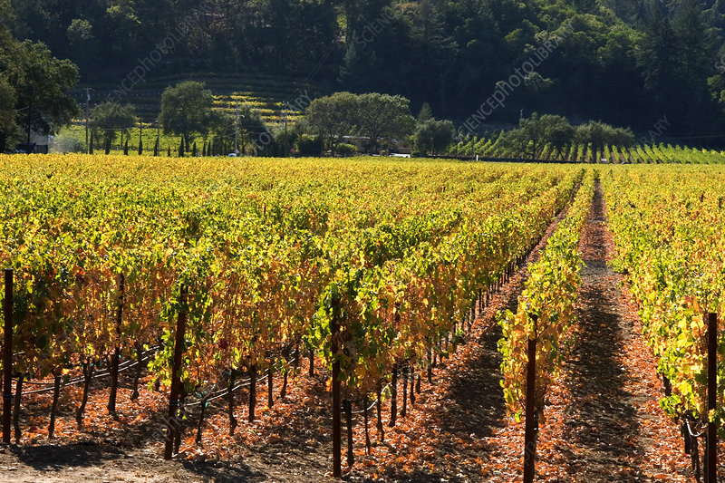Harvested Grape Vines, Napa Valley