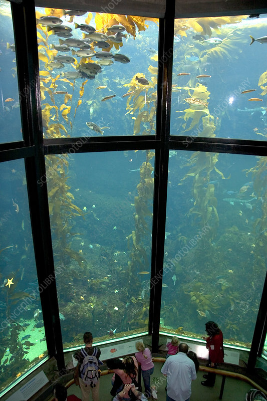 Kelp forest display at Monterey Bay Aquar