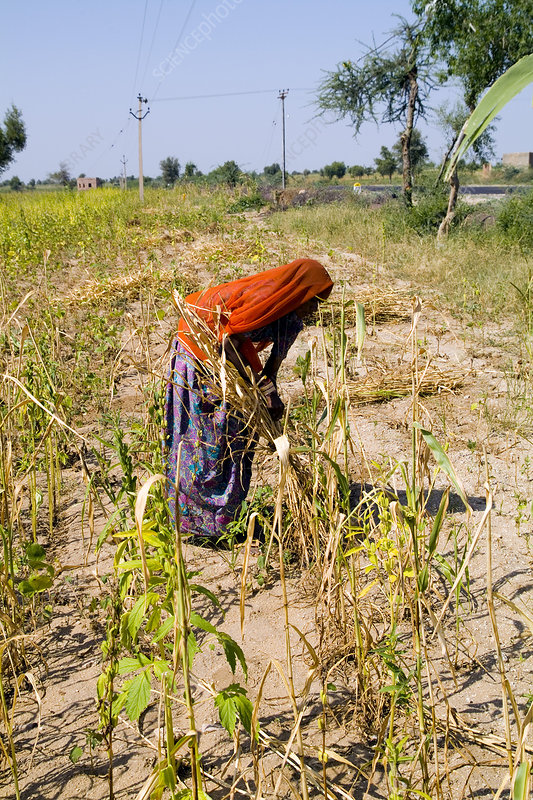 Indian Woman Working in Field