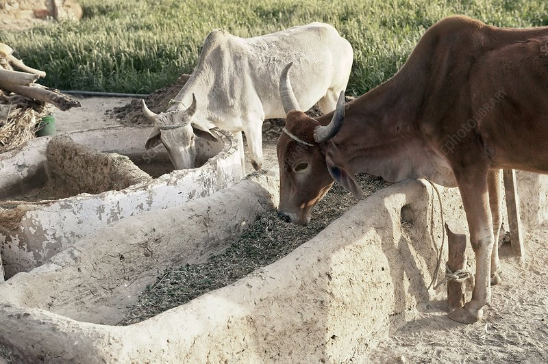 Cattle feeding, India