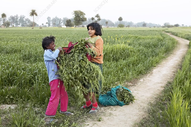 Children packing crops, India