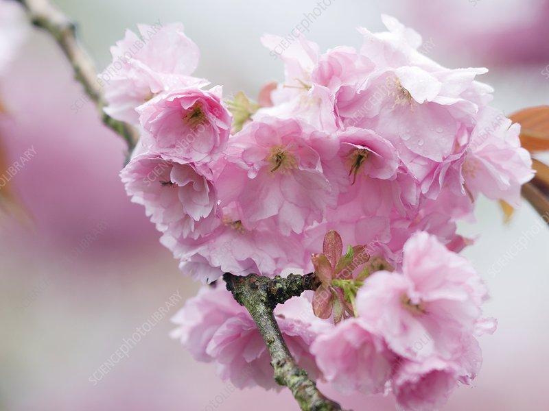 Wild cherry 'Plena' blossom