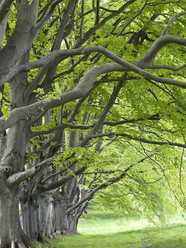 Mature beech trees (Fagus sylvatica)