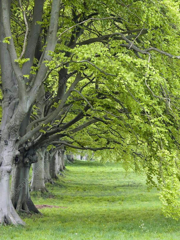Mature beech trees (Fagus sylvatica)
