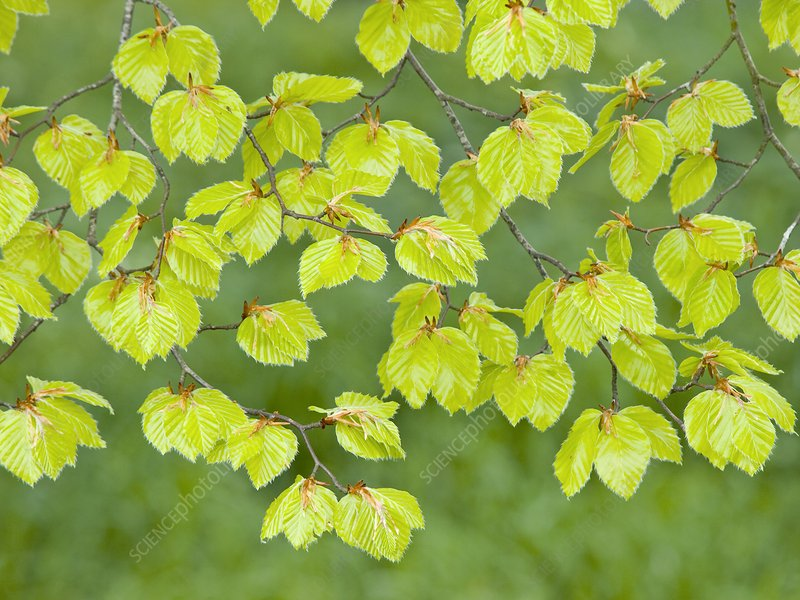 Beech tree leaves (Fagus sylvatica)