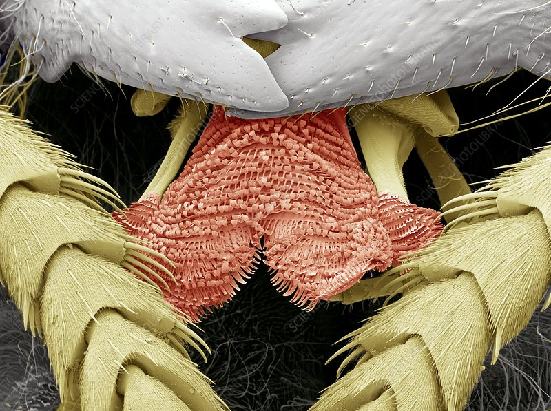 Wasp tongue, SEM