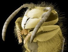 Common wasp head, SEM