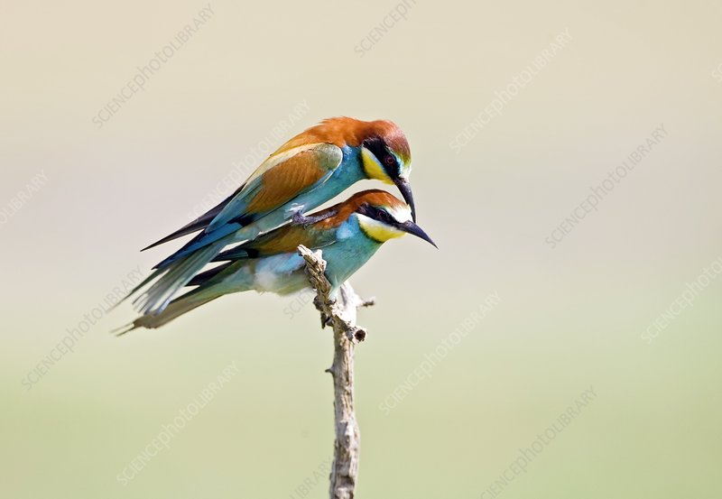 Bee-eaters mating