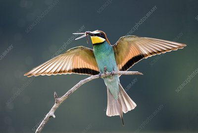 Bee-eater with a dragonfly