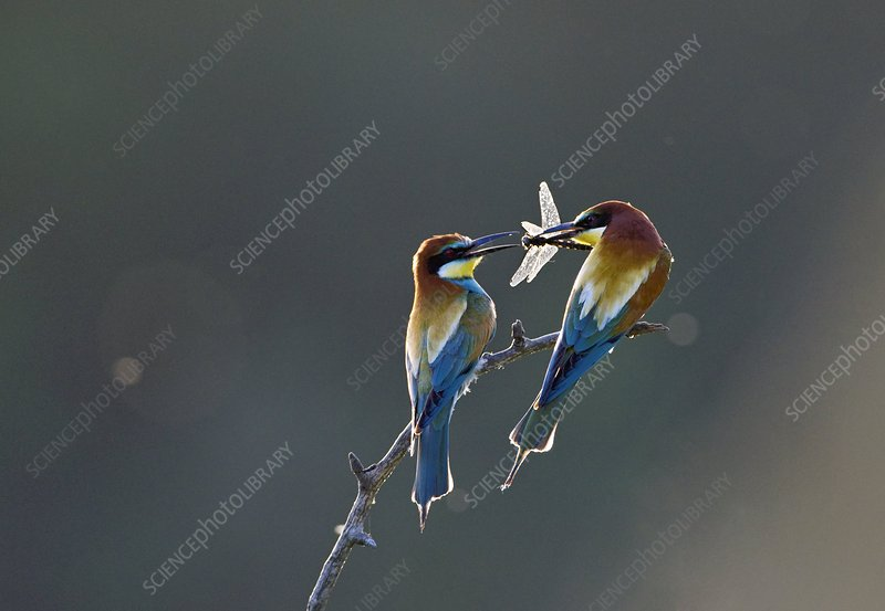 Bee-eater presenting food to its partner