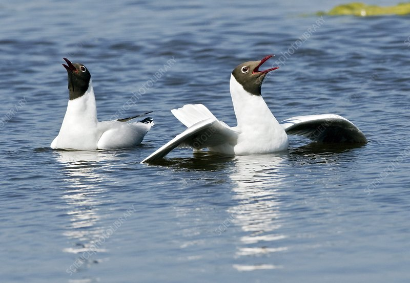 Black-headed gulls displaying