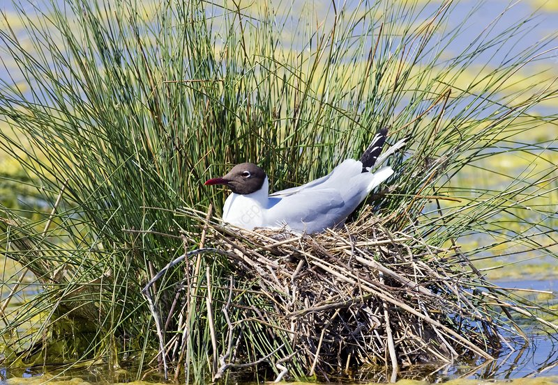 Black-headed gull nesting