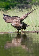 Common buzzard drinking