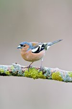 Male chaffinch perched on a branch