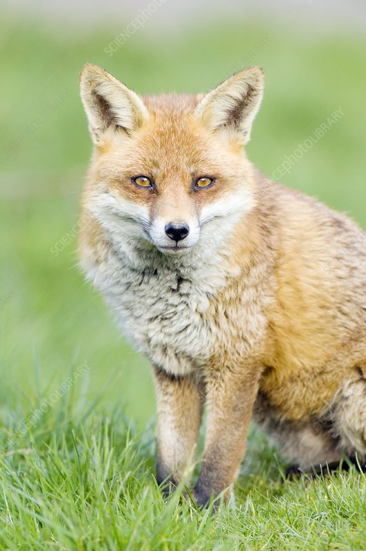 Red fox sitting on grass