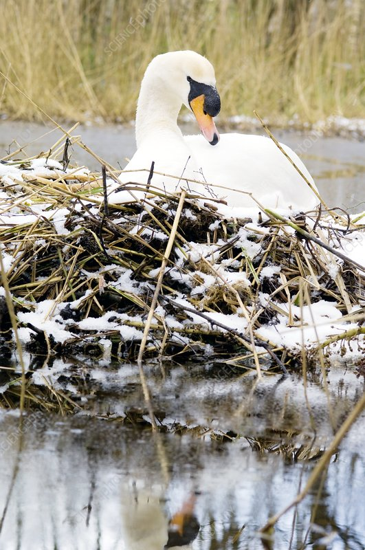 Mute swan sitting on a nest in the snow