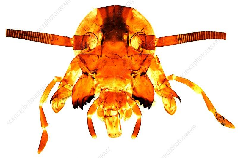 Cockroach's head, light micrograph