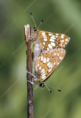 Duke of Burgundy fritillary butterflies