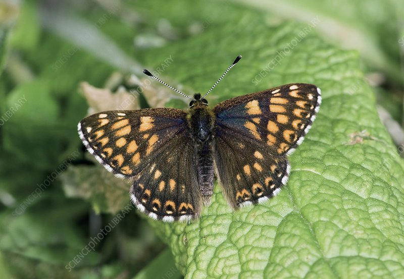 Duke of Burgundy fritillary butterfly